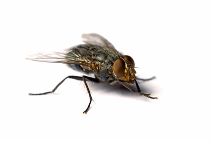 flies pest control